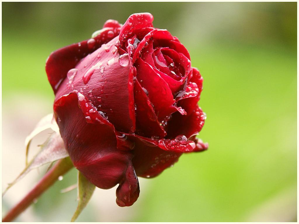 عکس زیبا گلها