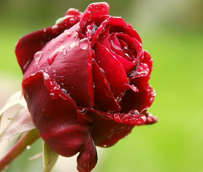 عکس های گل رز قرمز عاشقانه